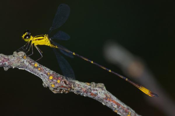Heteragrion simulatum mâle