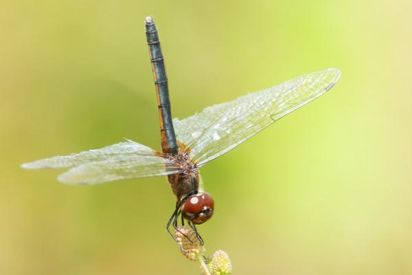 Idiataphe longipes femelle