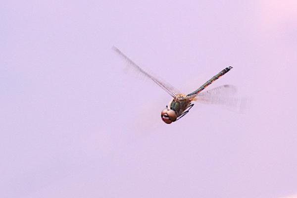 Idiataphe longipes mâle en vol