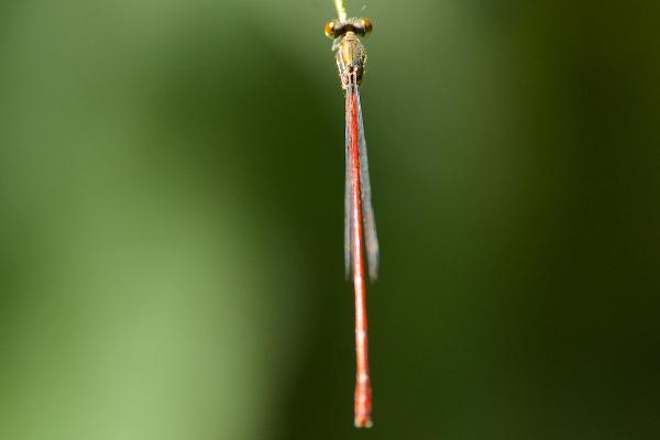Inpabasis rosea mâle