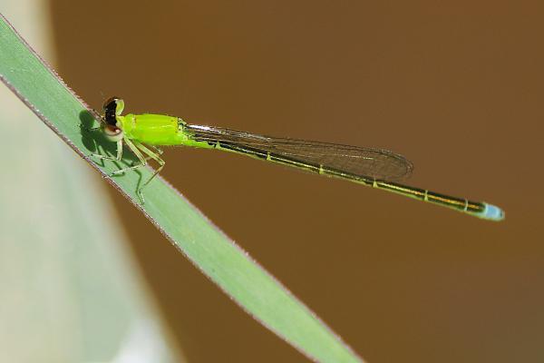 Ischnura capreolus femelle immature