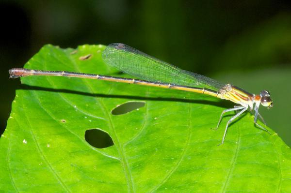 Leptagrion aculeatum femelle