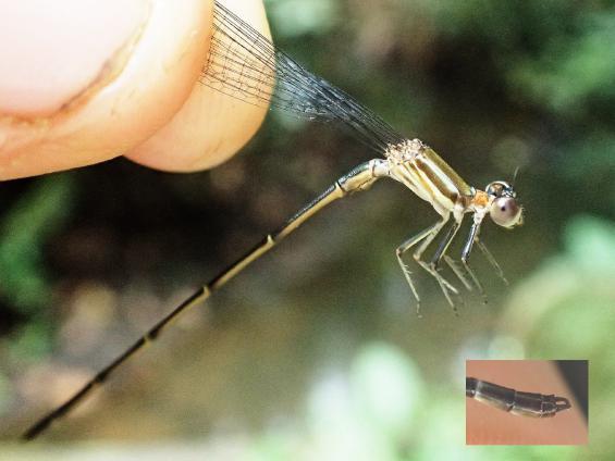 Leptagrion aculeatum mâle