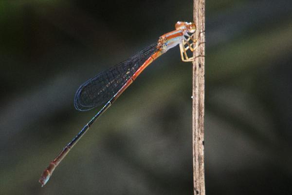 Leptobasis vacillans femelle immature