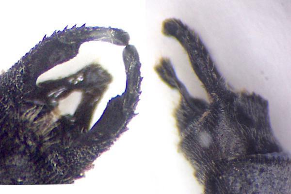 Lestes jerrelli appendices anaux du mâle