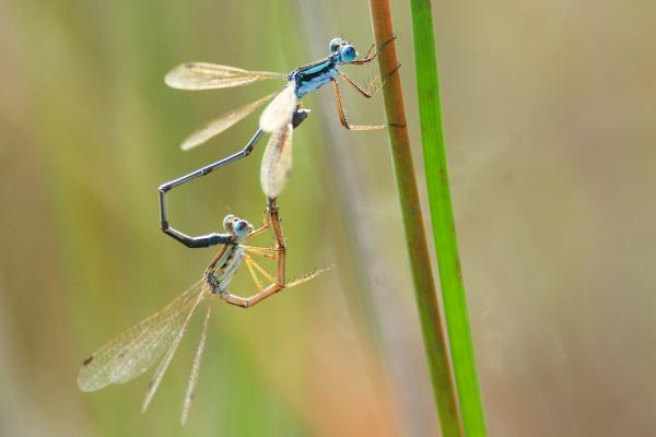 Lestes minutus accouplement