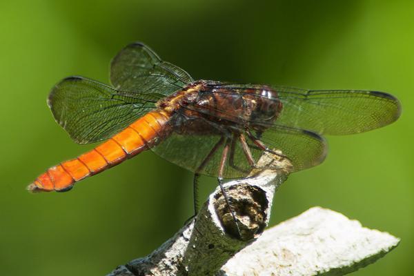 Libellula herculea femelle