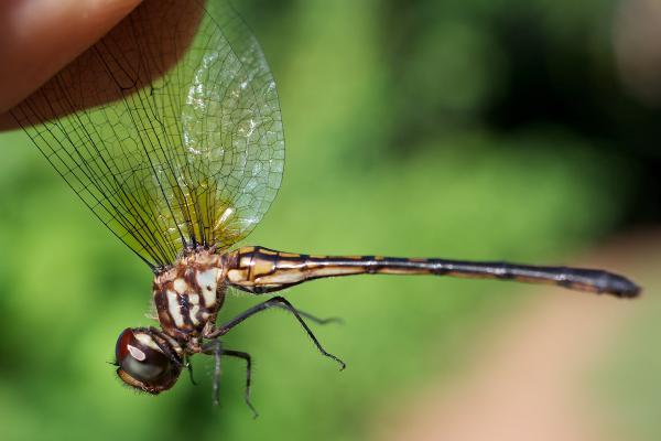 Macrothemis musiva femelle