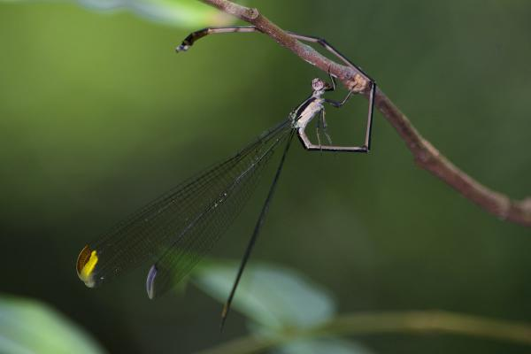 Mecistogaster ornata mâle