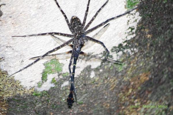 Melanocacus mungo prédation par une araignée