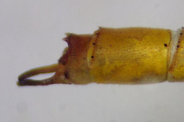 Mesoleptobasis elongata appendices anaux du mâle