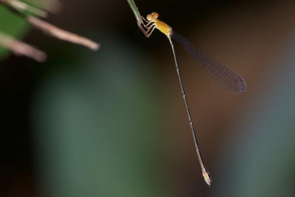 Mesoleptobasis elongata femelle