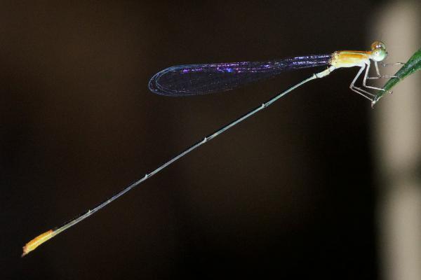 Mesoleptobasis elongata mâle