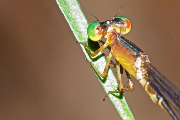 Metaleptobasis quadricornis mâle (détail)
