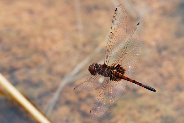 Miathyria simplex femelle