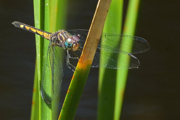 Micrathyria atra femelle