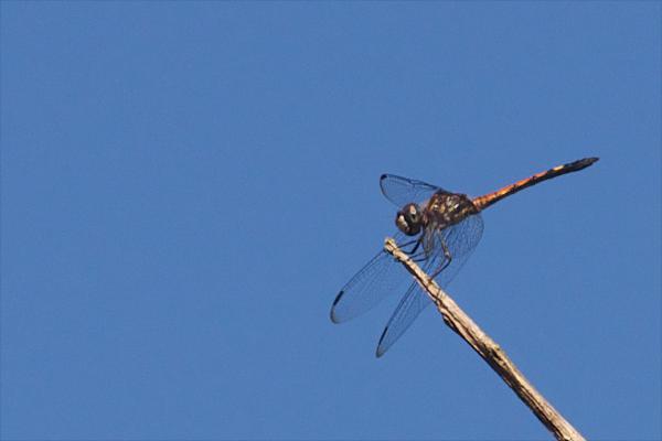 Micrathyria atra mâle immature