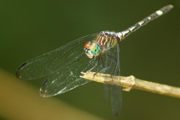Micrathyria didyma femelle