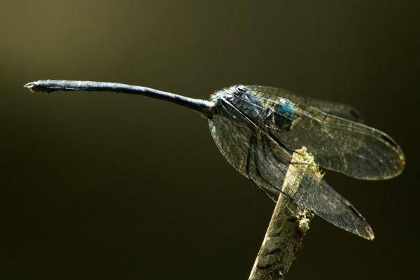Micrathyria laevigata mâle âgé