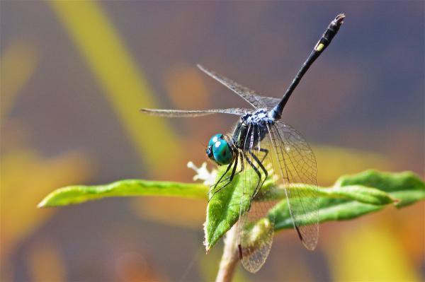 Micrathyria pseudeximia mâle