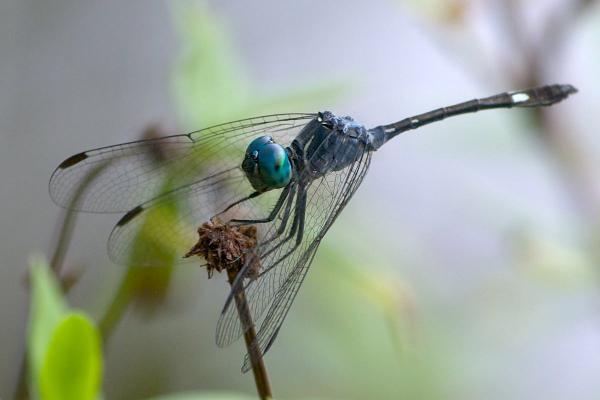 Micrathyria surinamensis mâle