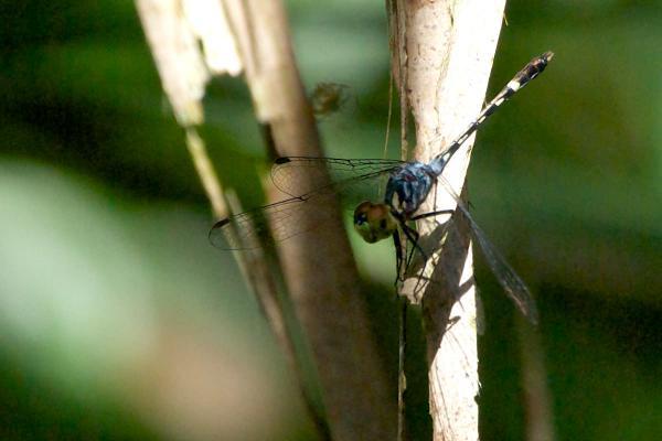 Micrathyria tibialis mâle