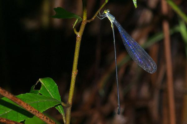 Microstigma anomalum mâle