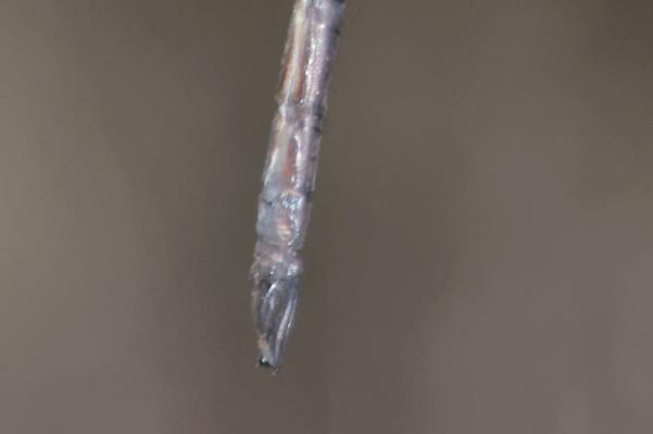 Neuraeschna harpya appendices anaux du mâle