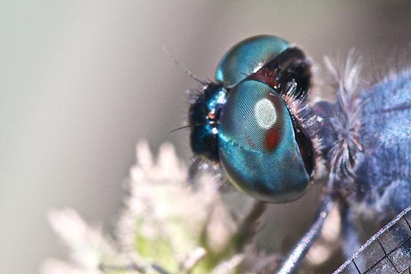 Oligoclada abbreviata yeux