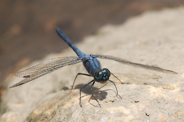 Oligoclada abbreviata mâle