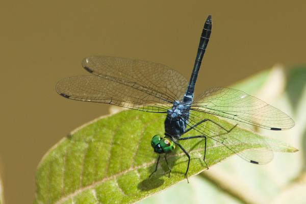 Oligoclada pachystigma mâle