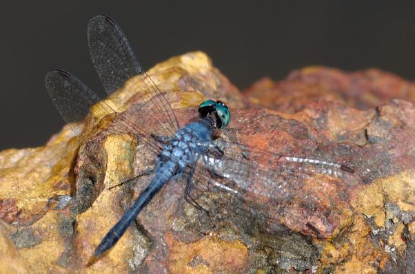 Oligoclada walkeri mâle