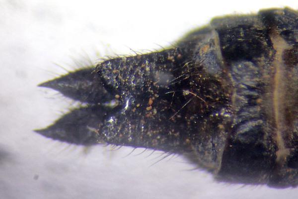 Orthemis anthracina appendices anaux du mâle