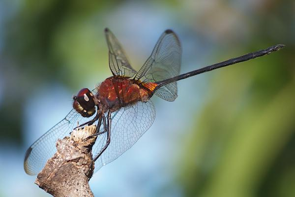 Orthemis concolor mâle