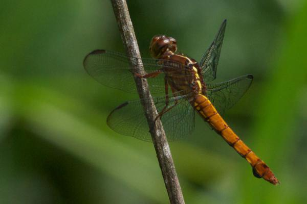 Orthemis discolor Orthemis discolor