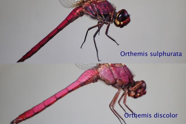 Orthemis sulphurata comparaison avec discolor