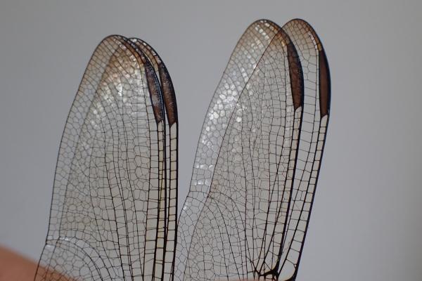 Orthemis sulphurata extrémité des ailes