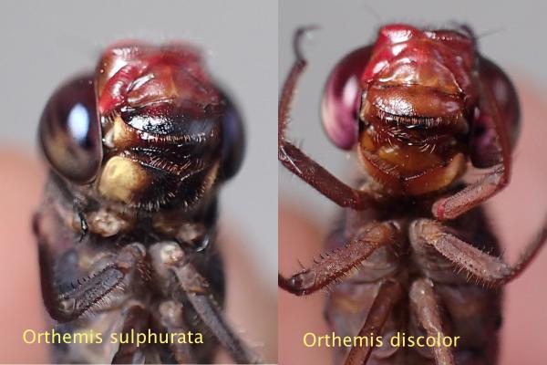 Orthemis sulphurata Comparaison avec discolor, dessous de la tête