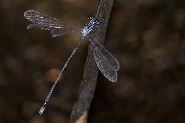 Oxystigma petiolatum mâle