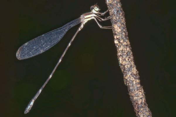 Palaemnema brevignoni mâle