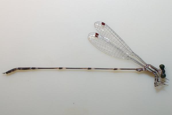 Perilestes attenuatus mâle