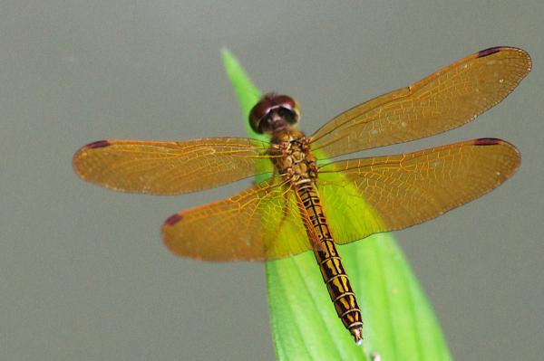 Perithemis electra mâle