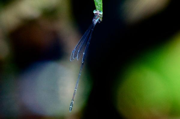 Phasmoneura exigua femelle