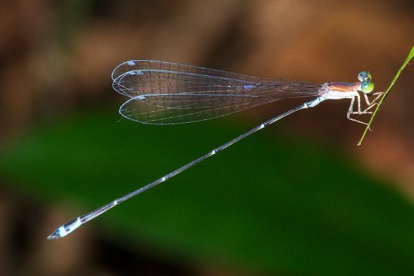 Phasmoneura exigua mâle
