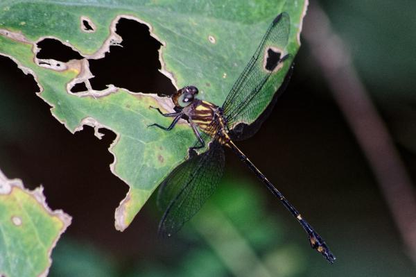 Phyllocycla neotropica mâle