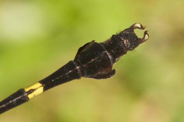 Phyllogomphoides cristatus extrémité de l'abdomen