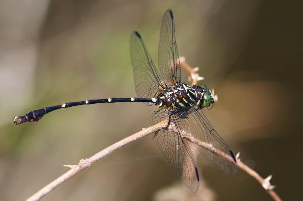 Phyllogomphoides undulatus mâle