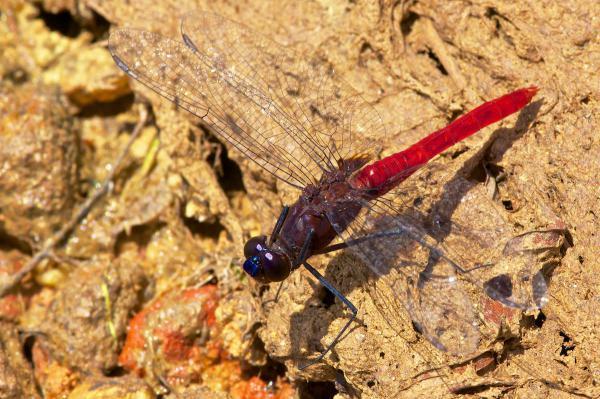 Planiplax arachne mâle