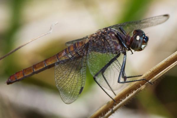 Planiplax arachne femelle