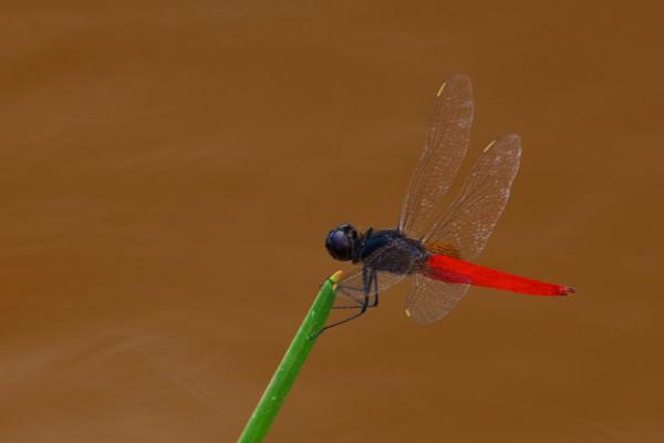 Planiplax phoenicura mâle